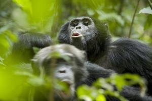 Africa, Uganda, Kibale National Park. Male chimpanzees pant-hoots his response. by Kristin Mosher