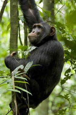Africa, Uganda, Kibale National Park, Ngogo. Young adult male chimpanzee climbing. by Kristin Mosher