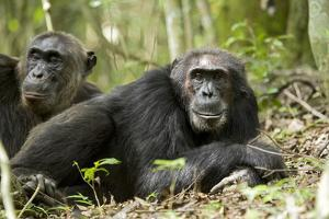 Africa, Uganda, Kibale National Park. Two resting male chimpanzees. by Kristin Mosher