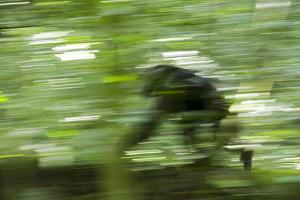 Africa, Uganda, Kibale National Park. Wild chimpanzee travels through the forest. by Kristin Mosher