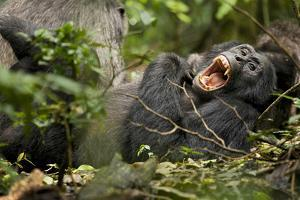 Africa, Uganda, Kibale National Park. Wild chimpanzee yawns while resting with others. by Kristin Mosher