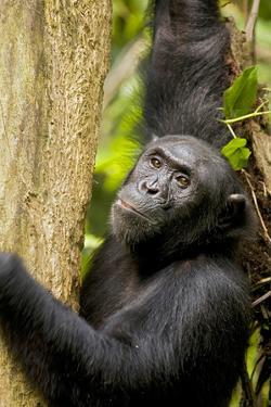 Africa, Uganda, Kibale National Park. Wild female chimpanzee chews wood. by Kristin Mosher