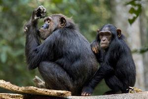 Africa, Uganda, Kibale National Park. Wild female chimpanzee with her daughter. by Kristin Mosher