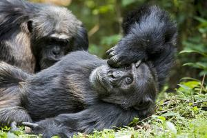 Africa, Uganda, Kibale National Park. Wild male chimpanzee relaxes. by Kristin Mosher