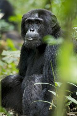Africa, Uganda, Kibale National Park. Wild male chimpanzee sits observing his surroundings. by Kristin Mosher