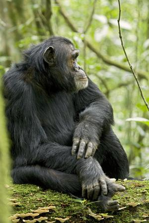 Africa, Uganda, Kibale National Park. Wild male chimpanzee sits on a log.