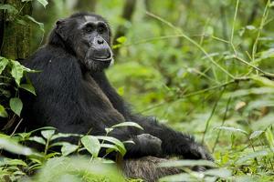 Africa, Uganda, Kibale National Park. Wild male chimpanzee sits. by Kristin Mosher