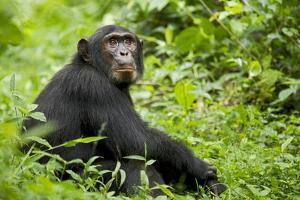 Africa, Uganda, Kibale National Park. Young adult chimpanzee relaxes on a path. by Kristin Mosher