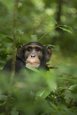 Africa, Uganda, Kibale National Park. Young adult male chimpanzee, 'Wes' by Kristin Mosher