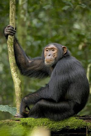 Africa, Uganda, Kibale National Park. Young chimpanzee listening.