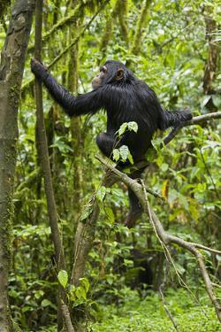Africa, Uganda, Kibale National Park. Young chimpanzee wet with rain. by Kristin Mosher