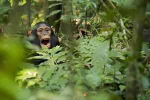 Africa, Uganda, Kibale National Park. Young juvenile chimpanzee sits yawning. by Kristin Mosher