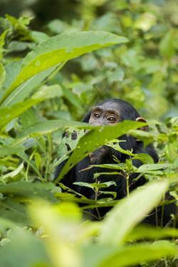 Africa, Uganda, Kibale National Park. Young juvenile chimpanzee. by Kristin Mosher