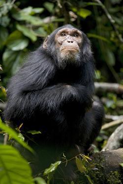 Africa, Uganda, Kibale National Park. Young male chimpanzee. by Kristin Mosher