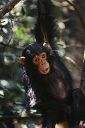 Africa, Young Chimpanzee Hanging at Forest