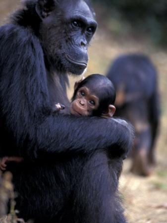 Female Chimpanzee Cradles Newborn Chimp, Gombe National Park, Tanzania