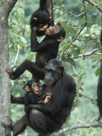Jane Goodall Institute, Chimpanzees, Gombe National Park, Tanzania