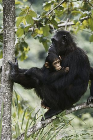 Tanzania, Chimpanzee Family Resting at Gombe Stream National Park