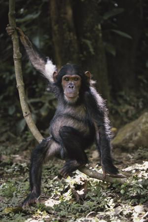 Tanzania, Chimpanzee Young Female at Gombe Stream National Park