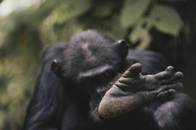 Tanzania, Gombe Stream National Park, Chimpanzee Foot, Close-Up