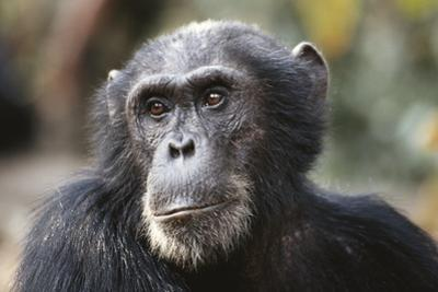 Tanzania, Gombe Stream National Park, Close-Up of Male Chimpanzee