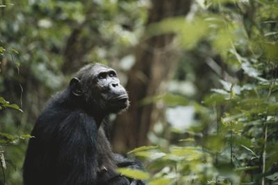 Tanzania, Gombe Stream National Park, Female Chimpanzee