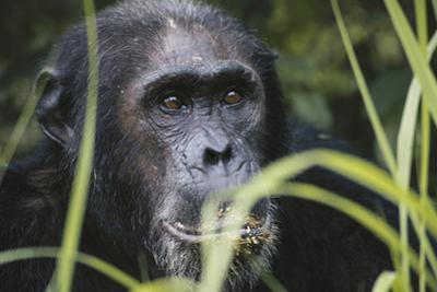 Tanzania, Gombe Stream National Park, Male Chimpanzee