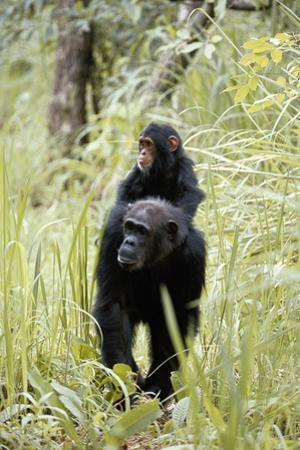 Tanzania, Gombe Stream NP, Chimpanzee with Her Baby on Her Back