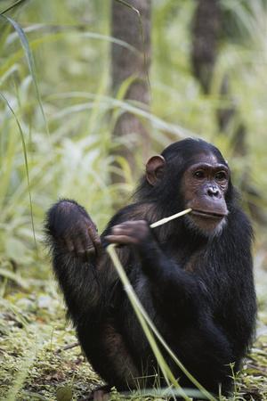 Tanzania, Gombe Stream NP, Female Chimpanzee Sitting at National Park