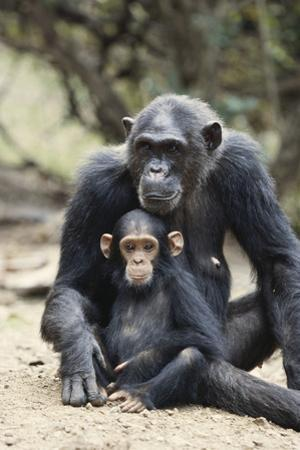 Tanzania, Gombe Stream NP, Mother Chimp and Her Child Sitting