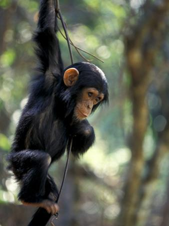 Young Chimpanzee Male, Gombe National Park, Tanzania