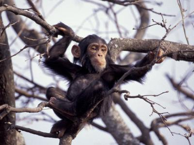 Young Male Chimpanzee, Gombe National Park, Tanzania