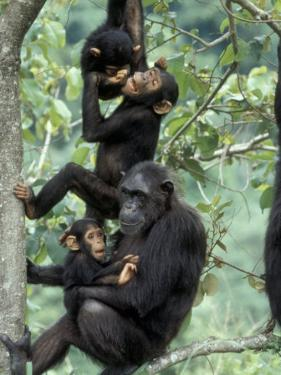 Young Male Chimpanzees Play, Gombe National Park, Tanzania by Kristin Mosher