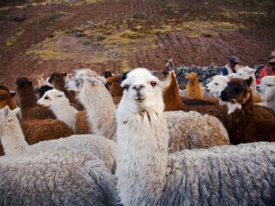 Llama and Alpaca Herd, Lares Valley, Cordillera Urubamba, Peru by Kristin Piljay