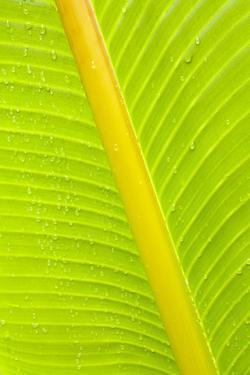 Banana (Musa sp.) close-up of leaf in rain by Krystyna Szulecka