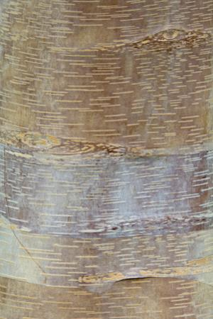 Chinese Red-barked Birch (Betula albo-sinensis) bark, close-up of trunk, in botanical garden, july by Krystyna Szulecka