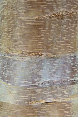 Chinese Red-barked Birch (Betula albo-sinensis) bark, close-up of trunk, in botanical garden, july by Krystyna Szulecka