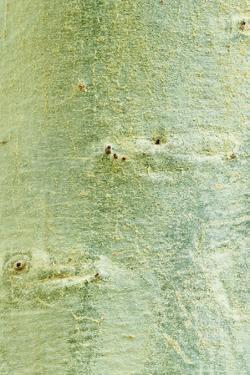 Fever Tree (Acacia xanthophloea) close-up of bark, Western Cape by Krystyna Szulecka