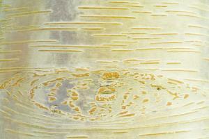 Himalayan Birch (Betula utilis) close-up of bark by Krystyna Szulecka