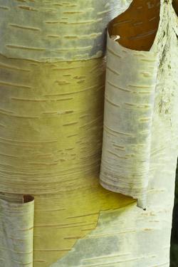 Himalayan Birch (Betula utilis) close-up of peeling bark by Krystyna Szulecka