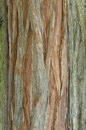 Incense Cedar (Calocedrus decurrens) bark, close-up of trunk, in botanical garden, july