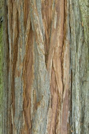 Incense Cedar (Calocedrus decurrens) bark, close-up of trunk, in botanical garden, july by Krystyna Szulecka