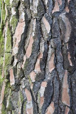 Maritime Pine (Pinus pinaster) close-up of bark, in garden, Cambridgeshire, England by Krystyna Szulecka