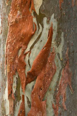 Rainbow Eucalyptus (Eucalyptus deglupta) close-up of bark, Northern Territory