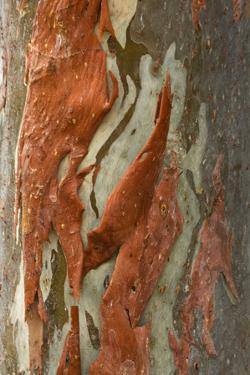 Rainbow Eucalyptus (Eucalyptus deglupta) close-up of bark, Northern Territory by Krystyna Szulecka