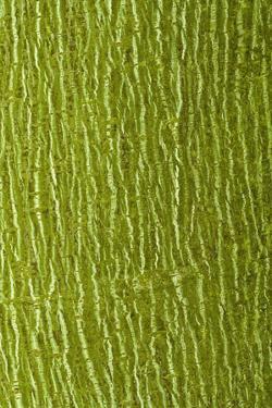 Striped Maple (Acer pensylvanicum) close-up of bark, mature tree by Krystyna Szulecka