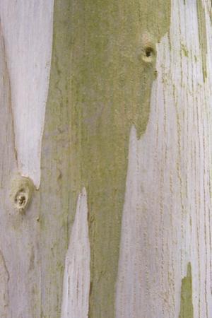 Urn Gum (Eucalyptus urnigera) bark, close-up of trunk, in botanical garden, july by Krystyna Szulecka