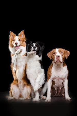 Two Border Collie and Pit Bull Dogs in Front of Black Background by Kseniya
