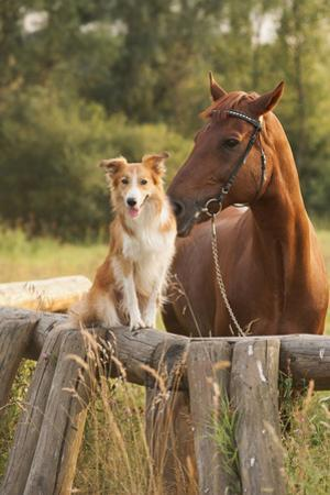 Red Border Collie Dog And Horse by Ksuksa