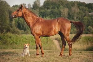 Red Border Collie Dog and Horse by Ksuksa